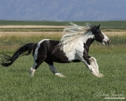 purebred Gypsy Cobb stallion running in Longmont, CO