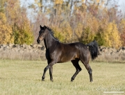 purebred Bay Dutch Warmblood gelding trots in pasture in Longmont, CO