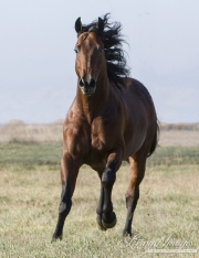 purebred Bay Quarter Horse stallion running in Longmont, CO