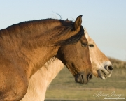 purebred Bay Andalusian stallion with purebred  Norwejian Fjord gelding in Berthoud, CO