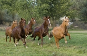 purebred Peruvian Paso Mares run in Sante Fe, NM