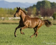 purebred Dutch Warmblood Chestnut mare running in Longmont, CO