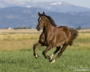 purebred Liver Chestnut gelding running in Longmont, CO
