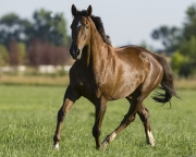 purebred Liver chestnut thoroughbred gelding trotting in Longmont, CO