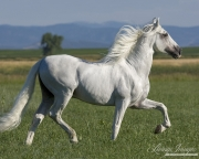 purebred Grey Andalusian stallion trotting in Longmont, CO