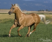 purebred Palomino Quarter Horse stallion running in Longmont, CO