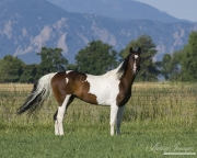 purebred Paint gelding in Longmont, CO