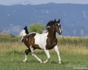 purebred Paint gelding trotting in Longmont, CO