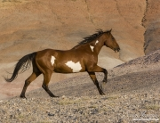 Flitner Ranch, Shell, WY - purebred paint horse running