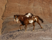 Flitner Ranch, Shell, WY - two purebred paint horses running together