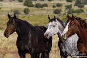 Three purebred Quarter Horse mares, black, sorrel and dappled grey, San Cristobal Ranch, Sante Fe,  NM
