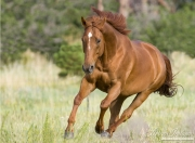 purebred Sorrel Quarter Horse stallion runs in Castle Rock, CO