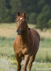 Sorrel Quarter Horse stallion in Castle Rock, CO