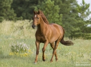 purebred Sorrel Quarter Horse stallion in Castle Rock, CO