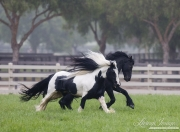 purebred Black Friesian stallion and purebred Gypsy Vanner stallion playing together in Ojai, CA