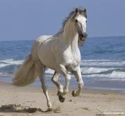Summerland Beach, Ojai, CA, horse, purebred Andalusian stallion running