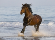 Summerland Beach, Ojai, CA, horse, bay Azteca stallion, Andalusian and Quarter Horse cross canters onto beach from waves