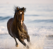 Summerland Beach, Ojai, CA, horse, purebred bay Azteca stallion runs in from waves