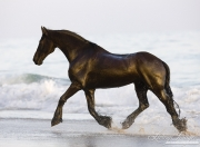 Summerland Beach, Ojai, CA, horse, purebred Friesian gelding trots out of ocean