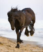 Summerland Beach, Ojai, CA, horse, purebred Friesian gelding kicks up his heels