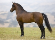 Ojai, CA, purebred horse, bay Andalusian stallion standing