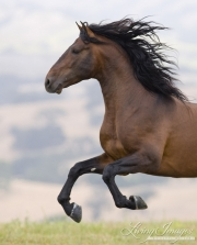 Ojai, CA, purebred horse, bay Andalusian stallion runs