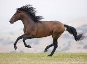 Ojai, CA, purebred horse, bay Andalusian stallion running