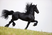 Ojai, CA, purebred horse, Friesian stallion doing passage