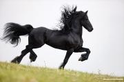 Ojai, CA, purebred horse, Friesian stallion doing passage