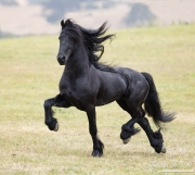 Ojai, CA, purebred horse, black Friesian stallion trotting on hillside