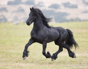 Ojai, CA, purebred horse,black Friesian stallion trotting on hillside