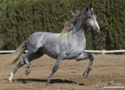 Ejicia, Spain, purebred Andalusians, grey Andalusian stallion trotting