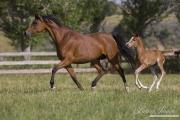 Ojai, CA, purebred horse, Arabian mare and foal