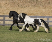 Ojai, CA, purebred horse,  Gypsy Vanner and Friesian stallions trot