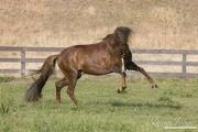 Ojai, CA, purebred horse, chestnut Peruvian Paso stallion romps