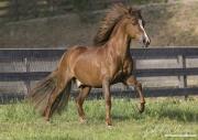 Ojai, CA, purebred horse, chestnut Peruvian Paso stallion runs