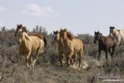 Sombrero Ranch, Craig, CO, horses run in sagebrush