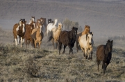 Sombrero Ranch, Craig, CO, horses run at sunset through sagebrush
