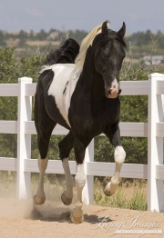 Pinto Rocky Mountain stallion runs in Castle Rock, CO