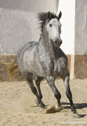 Purebred Andalusian in Osuna, Spain, grey mare runs