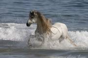 grey Andalusian stallion running in the waves at Ojai, CA