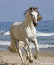 grey Andalusian stallion running on the beach at Ojai, CA