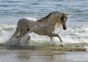 Grey Andalusian stallion in the ocean at the beach  in Ojai, CA