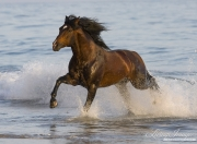 Summerland Beach, Ojai, CA, horse, bay Azteca stallion, Andalusian and Quarter Horse cross runs onto beach from waves