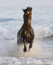 Summerland Beach, Ojai, CA, horse, bay Azteca stallion, Andalusian and Quarter Horse cross leaps onto beach from waves