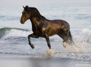 Summerland Beach, Ojai, CA, horse, bay Azteca stallion, Andalusian and Quarter Horse cross trots onto beach from waves