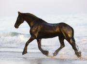 Summerland Beach, Ojai, CA, horse, purebred Friesian gelding trots out of ocean