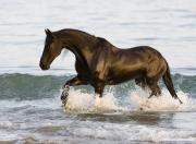 Summerland Beach, Ojai, CA, horse, black purbred Friesian gelding comes out of the ocean