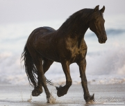 Summerland Beach, Ojai, CA, horse, Friesian purebred gelding trots on the beach at sunset