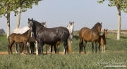 Ejicia, Spain, purebred Andalusians, mares and foals